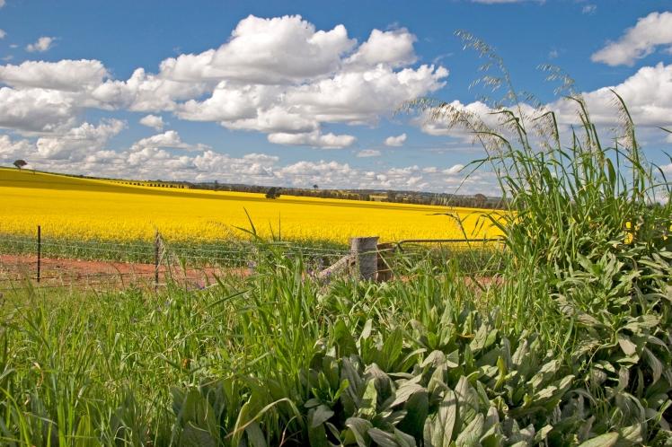 Canola fields near Wagga Wagga NSW