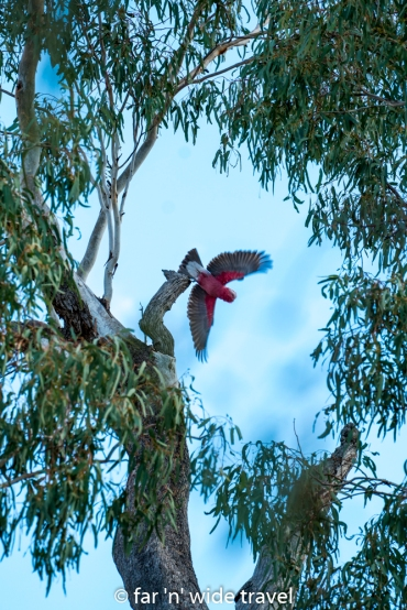 The beautiful colours of the galah