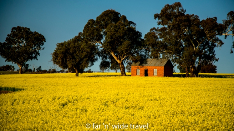 Derelict house in canola field