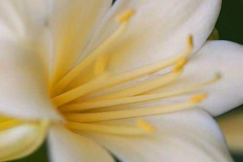 Cream clivea